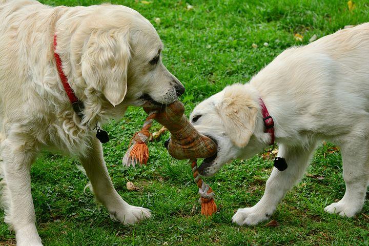 Psi a svrab